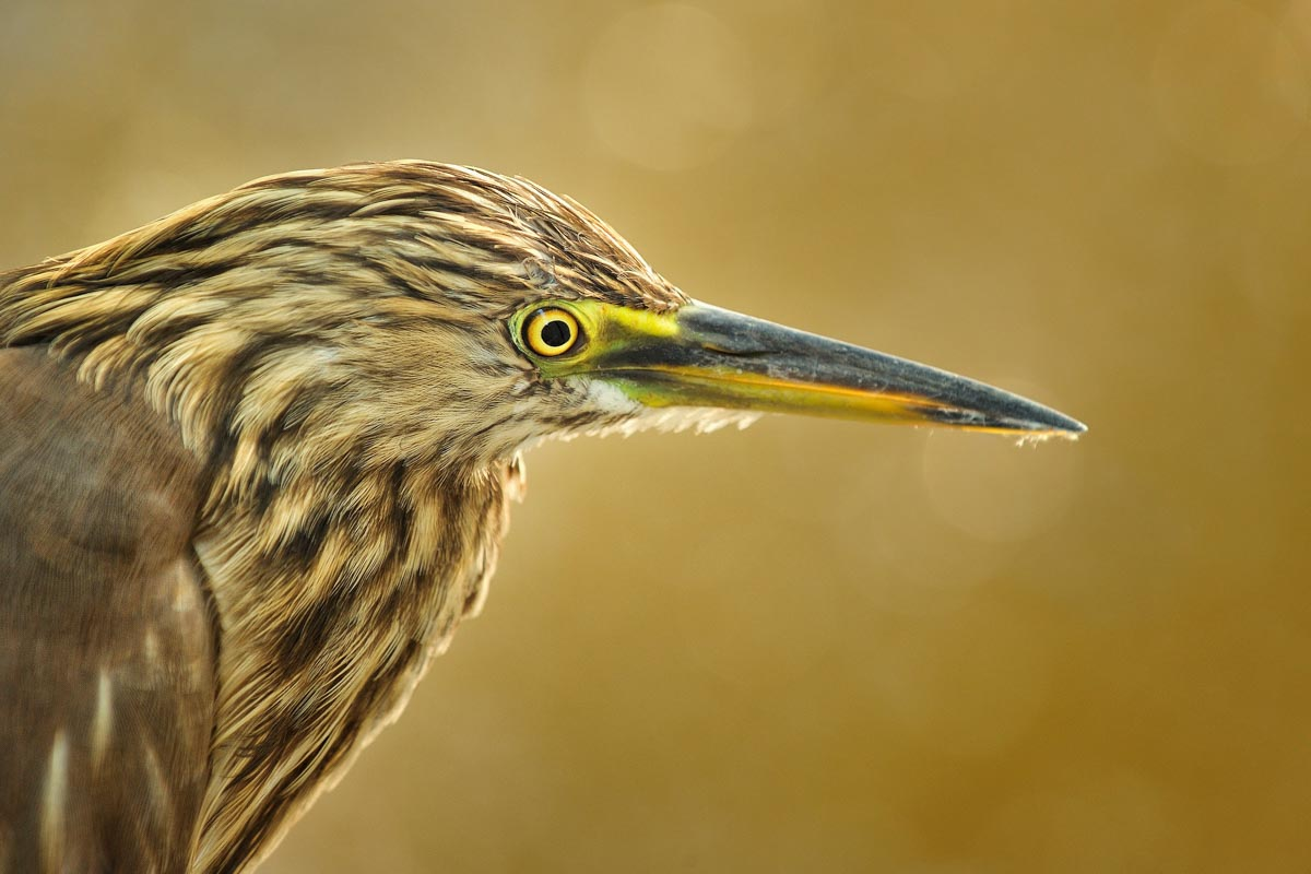 Indian Pond Heron   Ardeola Grayii MAX7179 1 Pixcube