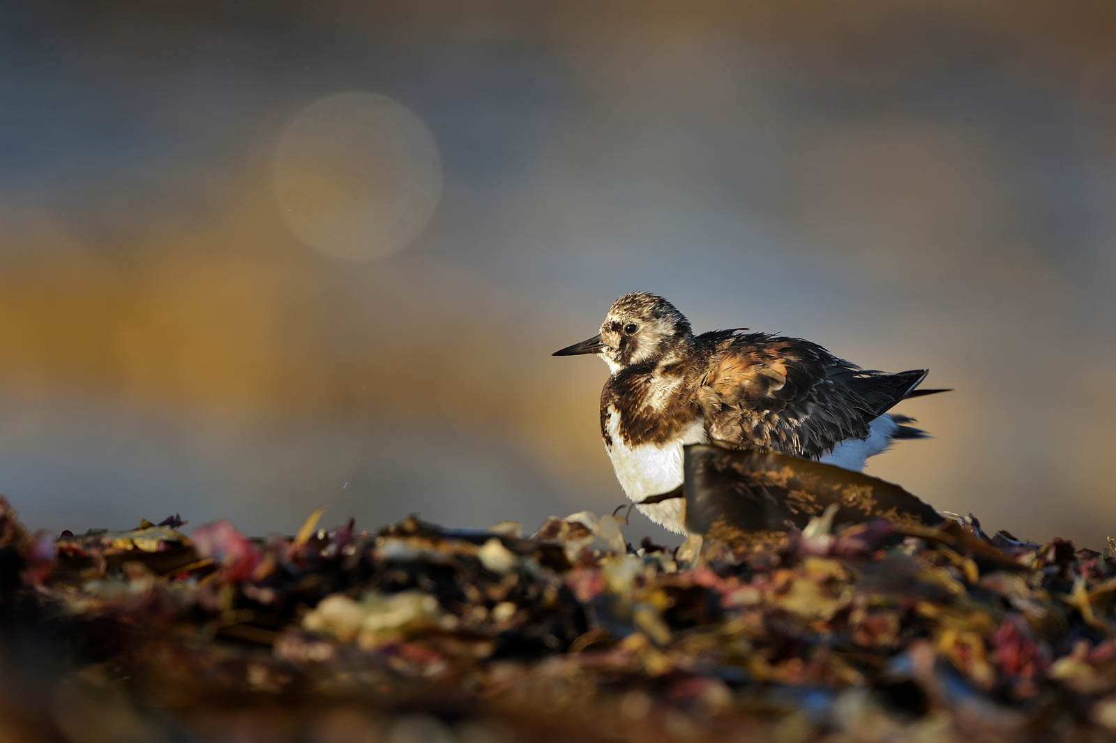 Ruddy Turnstone   Arenaria Interpres DSC6757 6 Pixcube